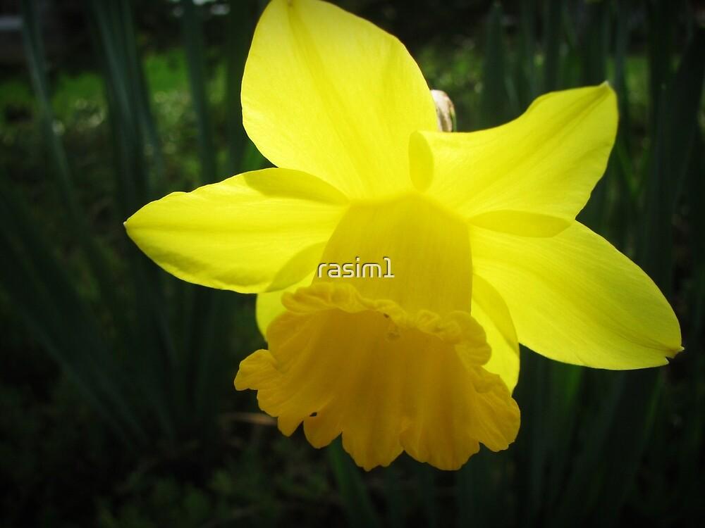 Daffodil-ISTANBUL by rasim1