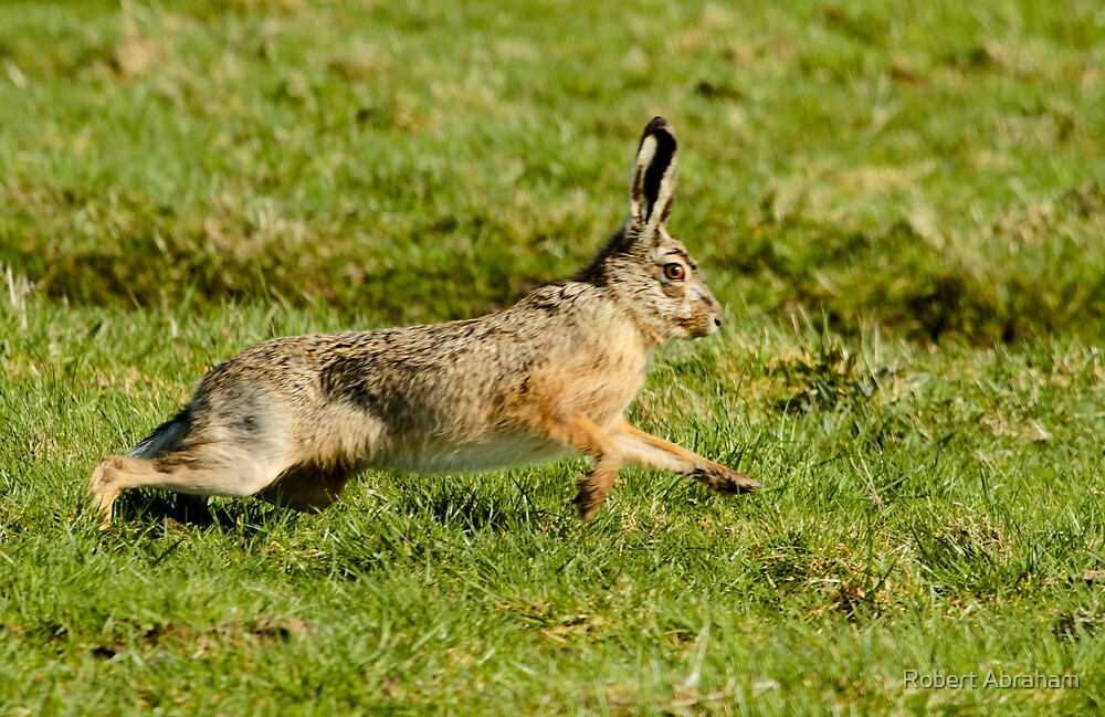 March Hare (Lepus europaeus) by Robert Abraham