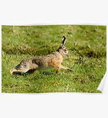 March Hare (Lepus europaeus) Poster