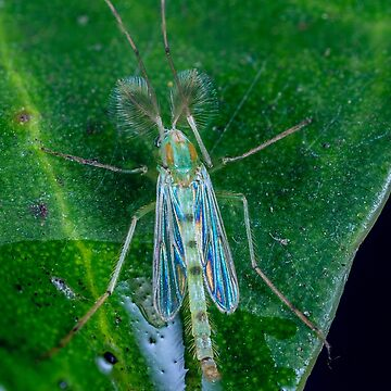 Non biting green Midge - Chironomus sp. by Normf
