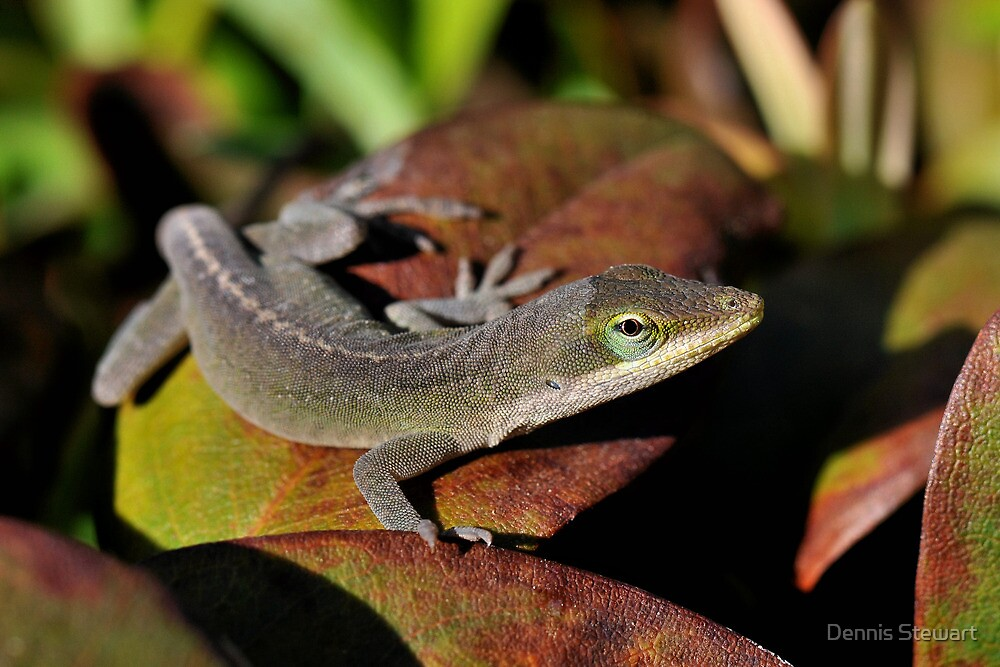 Common Anole....Again by Dennis Stewart