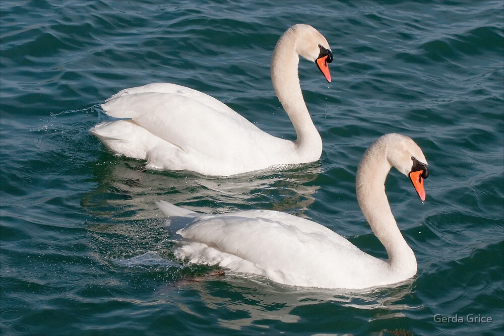 Post Mating Togetherness of a Pair of Swans by Gerda Grice