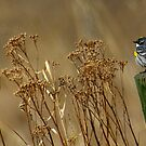 Yellow Rumped Warbler by KS-Photography