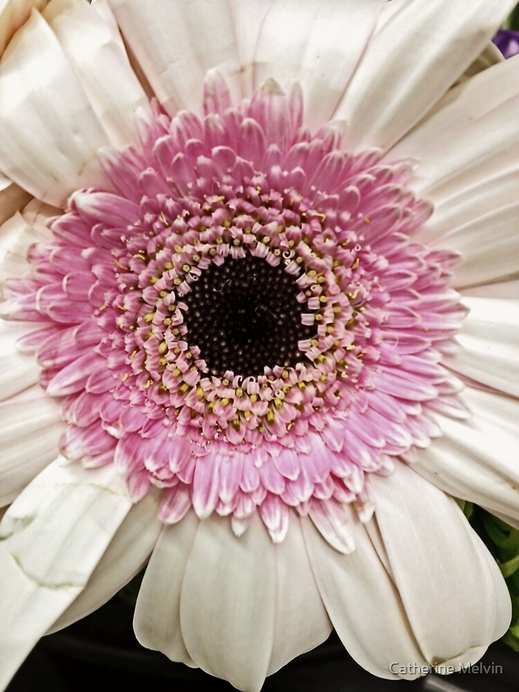 Pink Ring Gerbera Daisy by Catherine Melvin