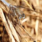 Dragonfly - Nature and Wildlife Original photo graphic design Merchandise by VIDDAtees