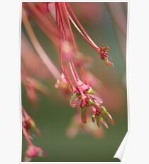 Maple Tree Seeds Poster