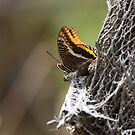 Two-tailed Pasha butterfly - Nature and Wildlife Original photo graphic design Merchandise by VIDDAtees