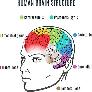 Human Brain Structure by Gertot1967