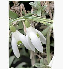 Snowdrops Galanthus nivalis Poster