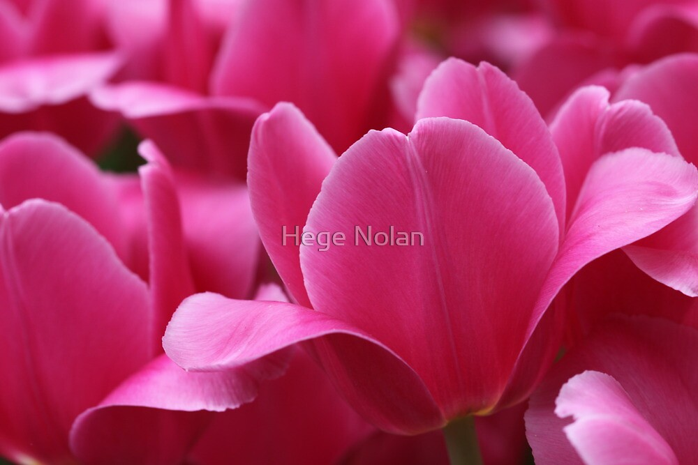 Super Pink by Hege Nolan