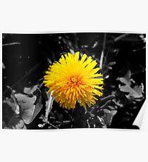 Spring's first dandelion Poster