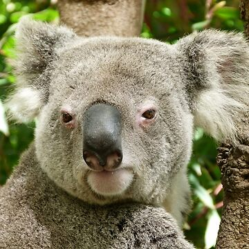 Koala, Birdland Animal Park by Baynanno1