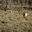The Bull Elk by BelindaGreb
