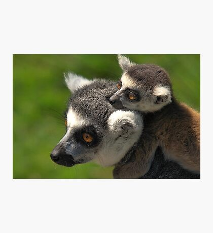 Ring-tailed Lemur with Baby Photographic Print