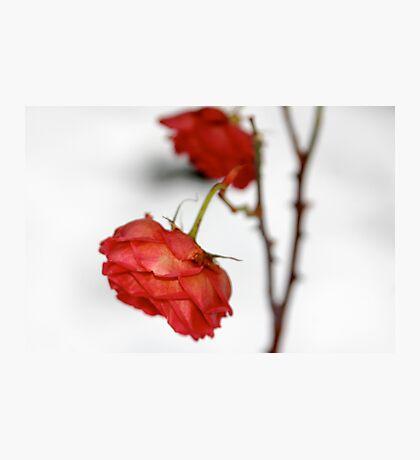 Rose is a rose is a rose is a rose Photographic Print