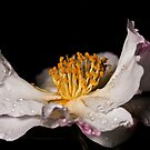 Portrait of a Camellia Flower by Samuel Gundry