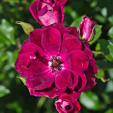 Roses On The Shrub by bubbleblue
