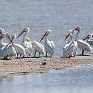 White Pelicans  by CarolM
