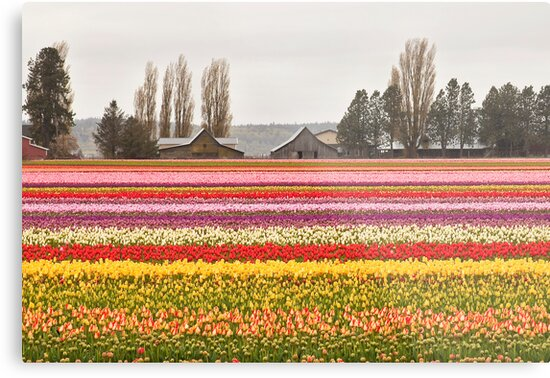 Tulip Town in the Skagit Valley by Barb White