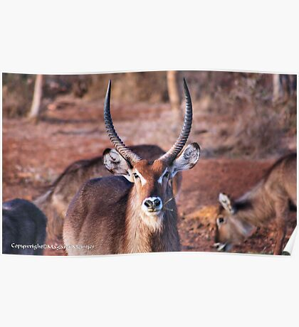 THE  WATERBUCK - Kobus ellipsiprymnus, robust and well built  Poster