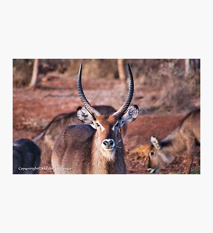 THE  WATERBUCK - Kobus ellipsiprymnus, robust and well built  Photographic Print