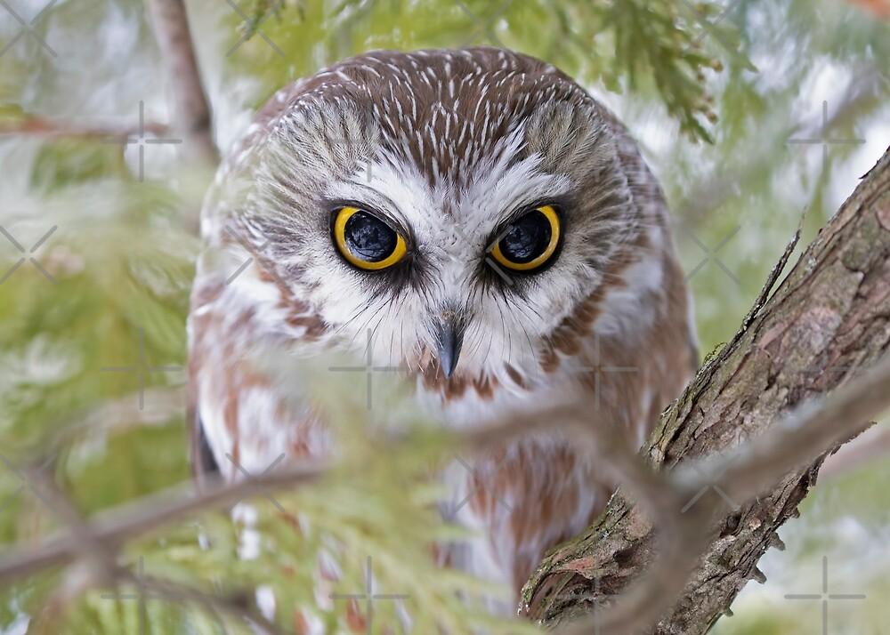 Northern Saw-whet owl by Jim Cumming