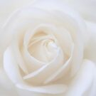 Soft White Rose Greetingcard by hurmerinta