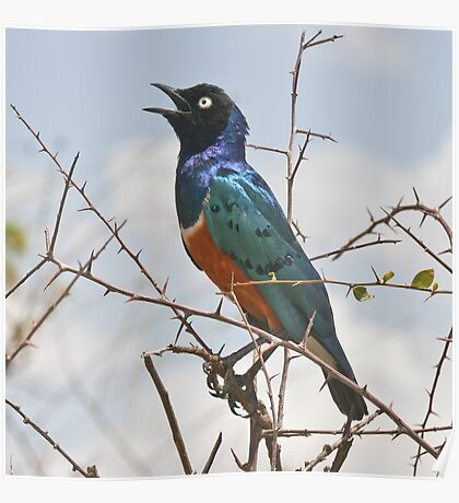 Full of the Joys of Spring - Superb Starling Poster