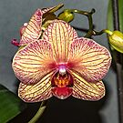 One and a half orchids by Bryan D. Spellman