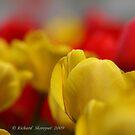 Tulips :) by Richard Skoropat