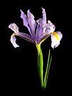Iris by Stephen D. Miller