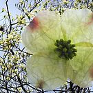 Dogwood Blooms are Special by barnsis