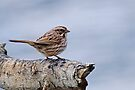 Song Sparrow - Ottawa, Ontario by Michael Cummings