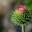 Star Thistle-Merced River, Ca by Alan Brazzel