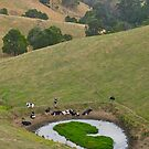 Cows at rest before hill-walking. Gippsland, Victoria. by johnrf