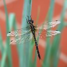 Dragonfly content on Shallots by MoonlightJo