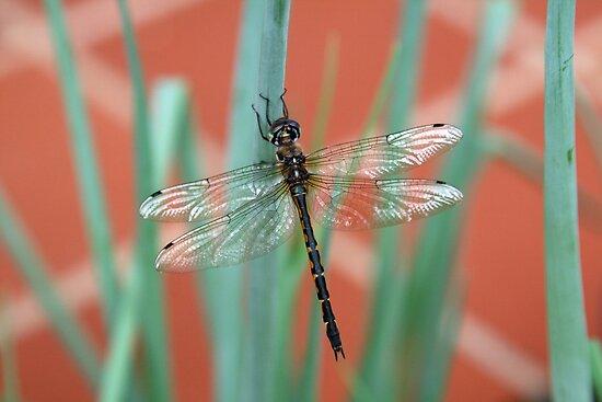 Dragonfly content on Shallots by MoonlightJo