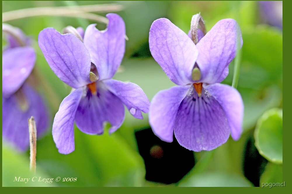 Three wood violets A by pogomcl