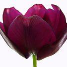 Purple Tulip One by Yvonne Carsley