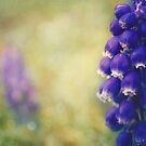 Grape Hyacinth by Sid Black