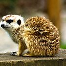 Meerkat #1 by Trevor Kersley