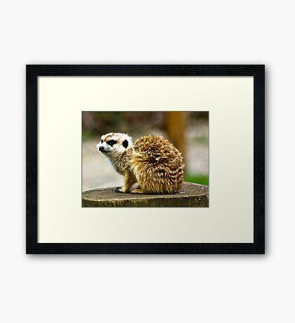 Meerkat #1 Framed Print
