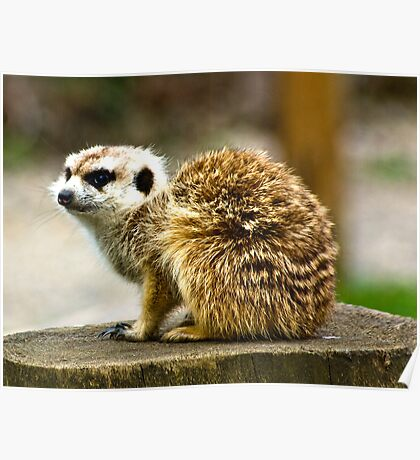 Meerkat #1 Poster