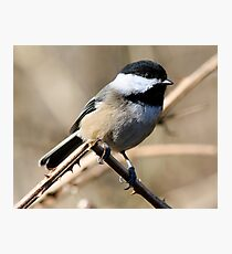 Chickadee Sunbath Photographic Print