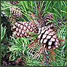Cones - Close-up by BlueMoonRose