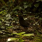 Blackbird trought the bush by Roberto Irace