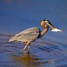 Kopf herauf Graureiher mit Fischen von TJ Baccari Photography