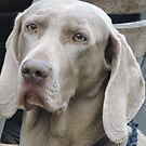Weimaraner portrait by CreativeEm