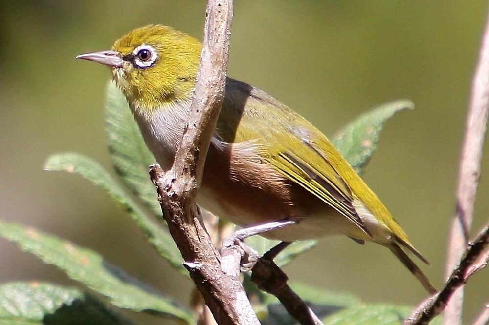 silvereye bird by Gaylene Norton
