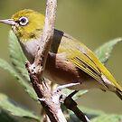 silvereye bird by gaylene